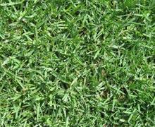 grass_kikuyu-1