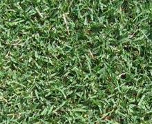 grass_santaanna